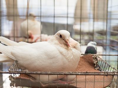 辨别乳鸽公母的四种方法