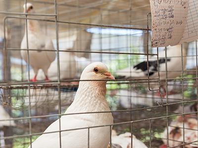 肉鸽场用什么消毒,如何消毒