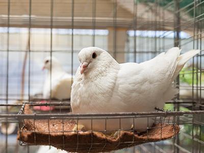 肉鸽常见病的防治