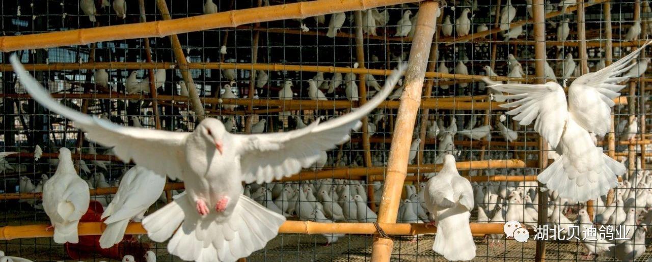 如果鸽厂出现乳鸽瘦小,涨势不齐,这些问题要注意了