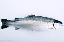 吉爾吉斯斯坦冷水魚養殖項目可行性研究報告